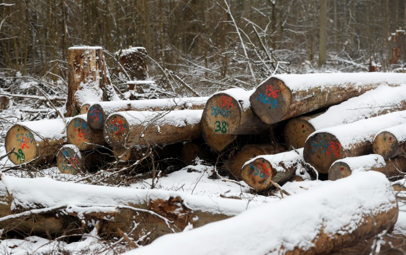 Logged stubs and trees are seen at one of the last primeval forests in Europe, Bialowieza forest, near Bialowieza village
