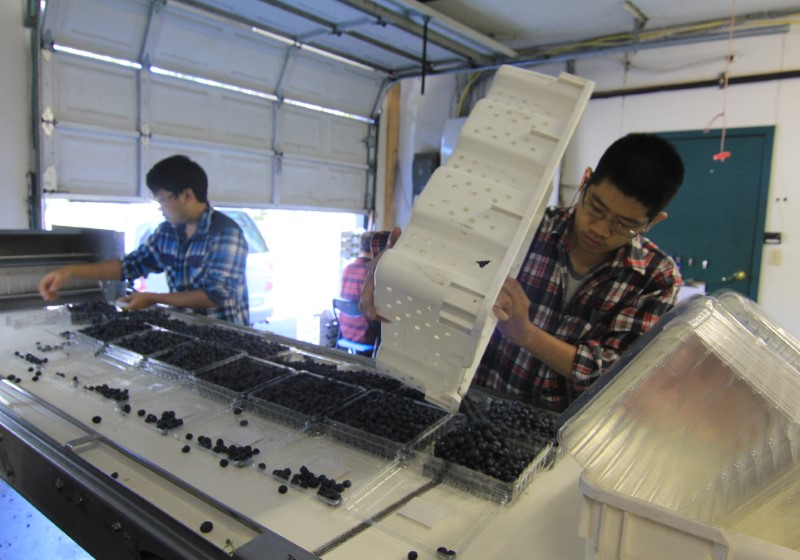 Laborers sort fresh organic blueberries into plastic clamshells for export at Lohas Farms in Richmond