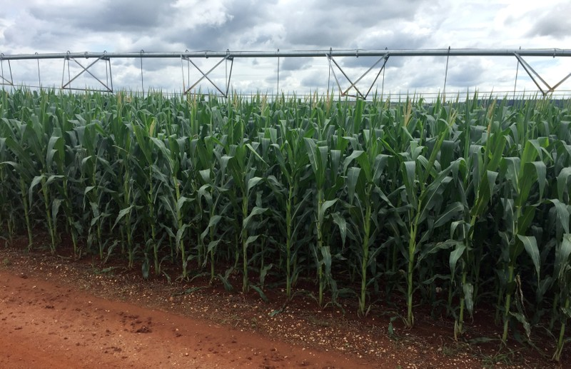 A corn crop is seen at Cercado Grande farm, where expansion of grains cultivation led the farm to scrap a contract with a sugar mill for cane planting in Itajai