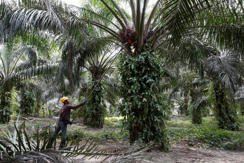 A worker collects palm oil fruits at a plantation in Bahau, Negeri Sembilan