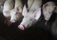 Progress reported in race to find vaccine for deadly hog disease spreading across China