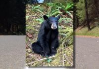 """Oregon officials kill bear because it became """"habituated"""" after humans took selfies with it"""
