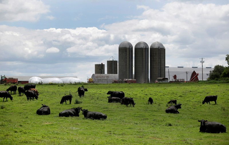 FILE PHOTO: Cattle rest in a field outside a farm in Peosta, Iowa