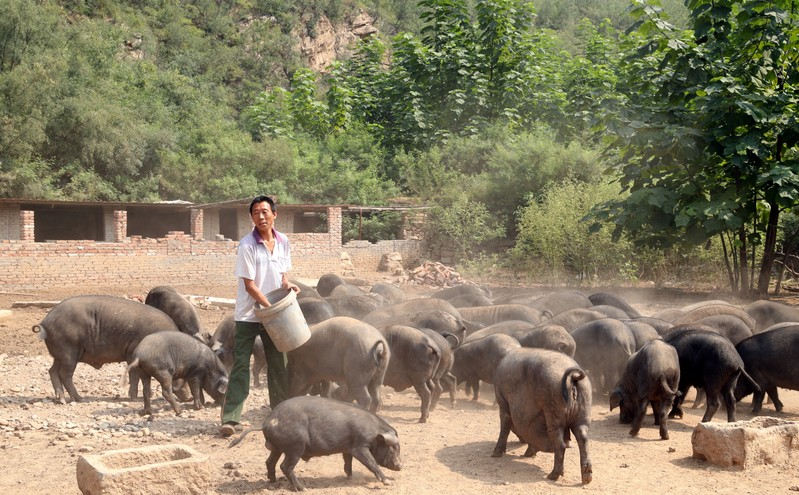 Worker feeds pigs at a farm in Xibaishan village in Hebei