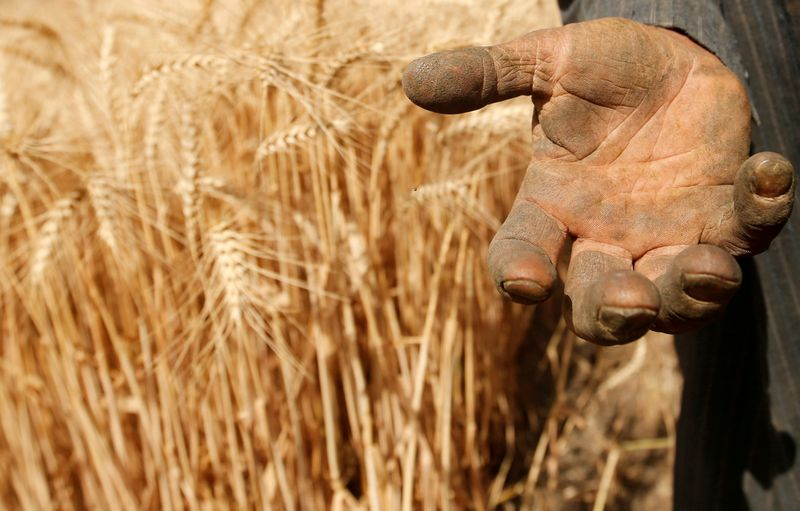 FILE PHOTO: A farmer shows his hand as he harvests wheat on Qalyub farm in the El-Kalubia governorate, northeast of Cairo