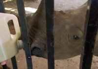 Helping orphaned rhino find their way