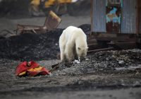 Starving polar bear wanders into Siberian city looking for food