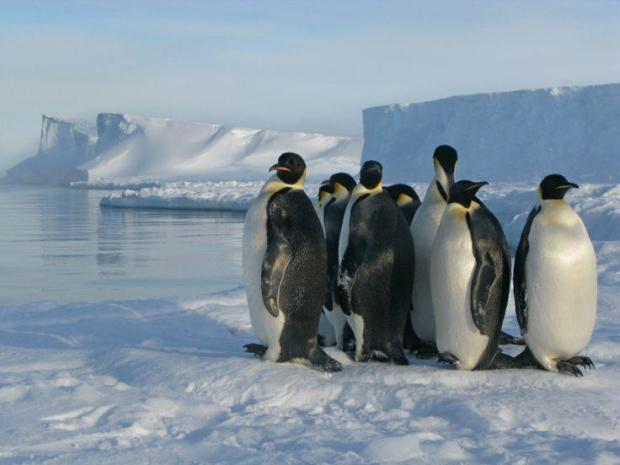 Emperor penguins may be listed as threatened due to climate change